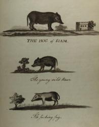 Three watercolors of hogs, Blue Hill, ca. 1814