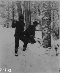 Cutting down a tree, Maine woods, ca. 1900