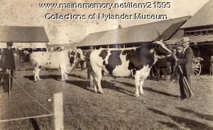 Holstein and Ayrshire bulls, Caribou Fair, ca 1922