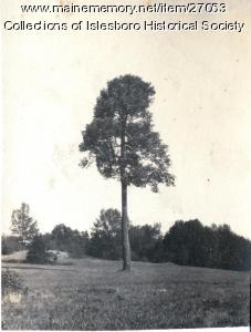 Big Tree, Islesboro, ca. 1920