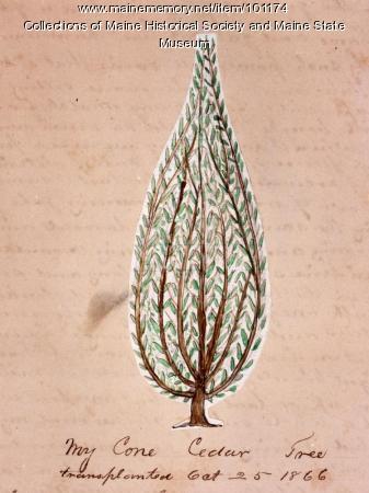 John Martin cone cedar tree, Bangor, 1866
