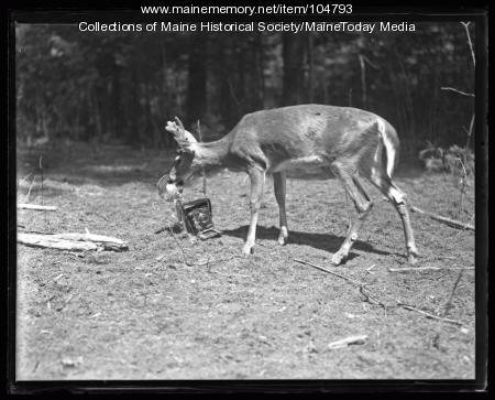 Deer biting a camera at Day Mills Day Farm, ca. 1922