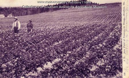 Aroostook Potato Field in Blossom - 1906
