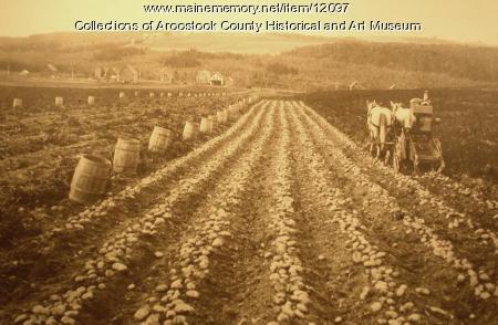 Field of Green Mountain potatoes
