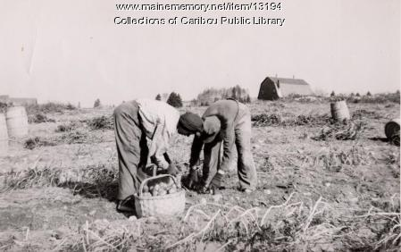 Potato pickers, Caribou, ca. 1930