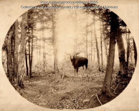 Moose in Aroostook Woods, c. 1895