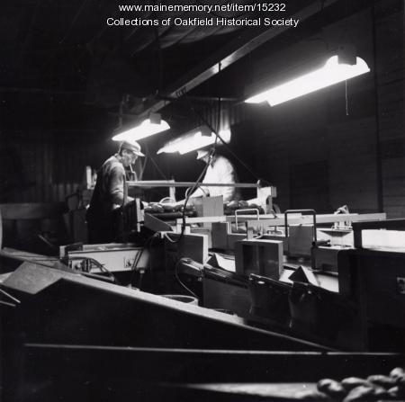 Culling Potatoes, Mapleton, 1966