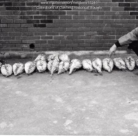 Sugar beets, Aroostook County, ca. 1975