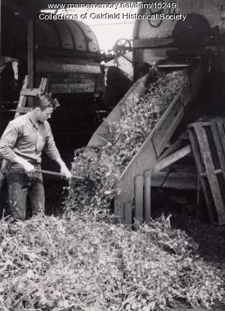 Threshing peas, ca. 1955