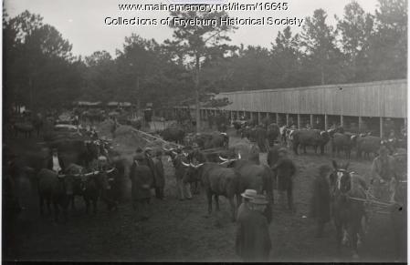 Fryeburg Fair Ox Teams, ca. 1900