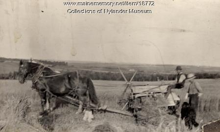 Harvesting wheat, New Sweden, ca. 1922