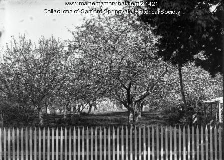 Howard Bennett's Orchard, Elm Street, Sanford, ca. 1910