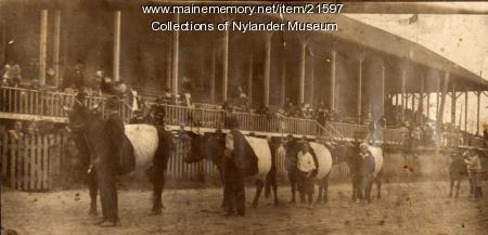 Dutch Belted cattle, Caribou Fair, ca. 1922