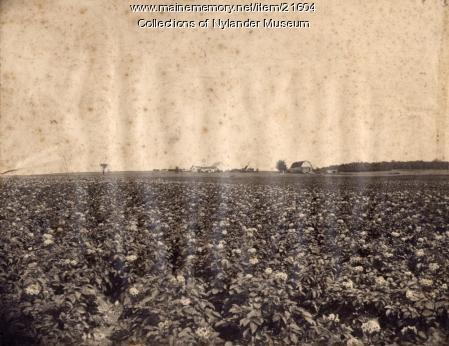 Potato field in blossom, Caribou, ca. 1922