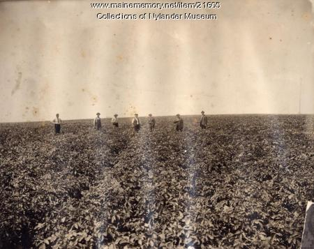 Inspecting a potato field, Caribou, ca. 1922
