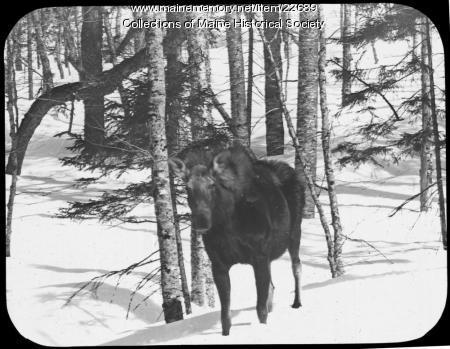 Moose in winter, ca. 1900