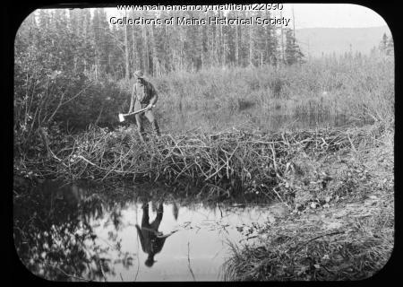 Man on beaver dam, ca. 1900