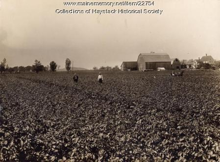 Aroostook potato field, ca. 1930
