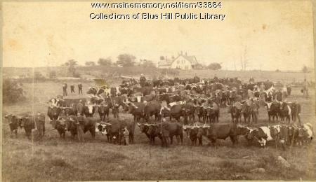 Blue Hill Fair ox teams in Blue Hill village, ca. 1875
