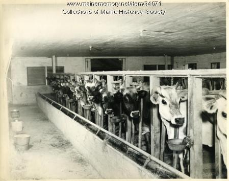 Spring Brook Farm dairy herd, Cumberland, ca. 1930