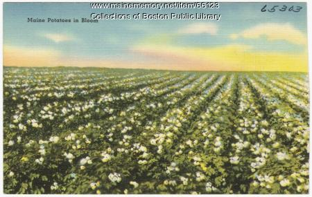 Potato blossoms, ca. 1935