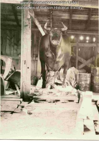 Arno Shepardson with mounted ox, Stetson, ca. 1929