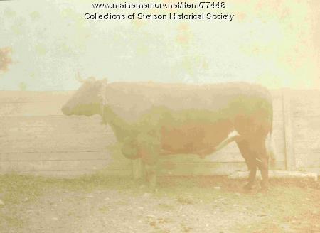 Giant Ox Mt. Katahdin, Stetson, ca. 1907