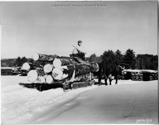 Yoke of oxen hauling logs, Bridgton, 1939