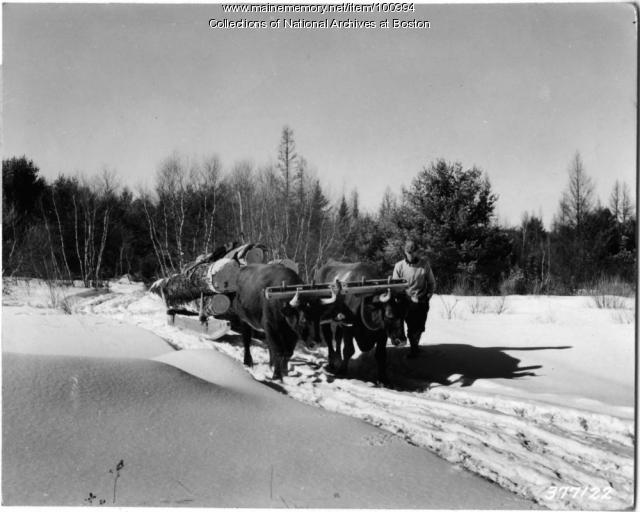 Oxen hauling salvage logs, Bridgton, 1939