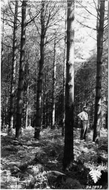 Thinning in white pine stand on farm, Sagadahoc County, 1938