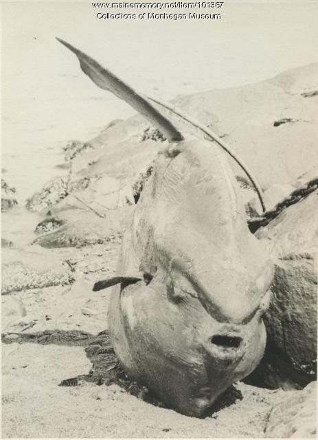 Sunfish, Monhegan, 1937