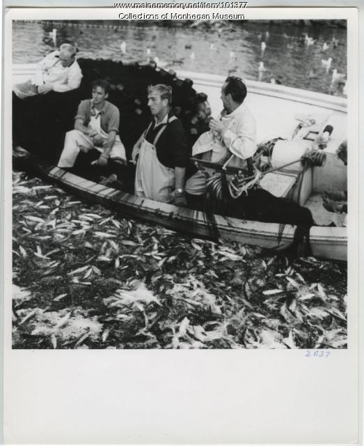 Herring catch, Monhegan, ca. 1962