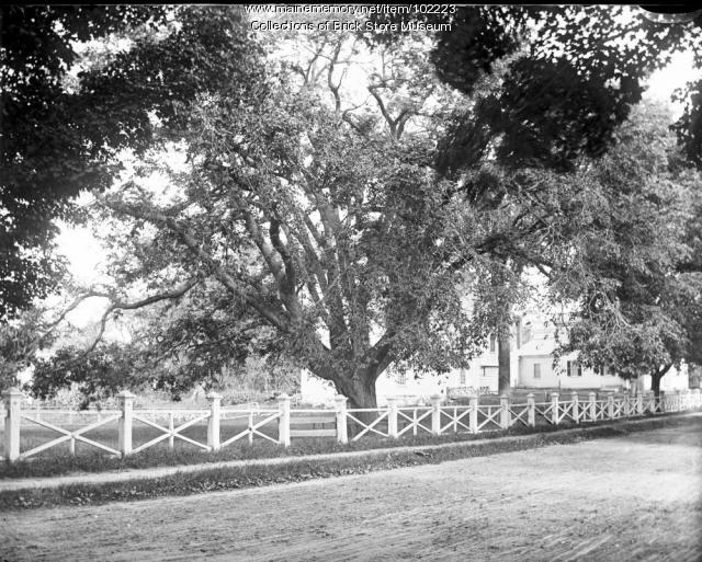 Lafayette Elm, Kennebunk, ca. 1900