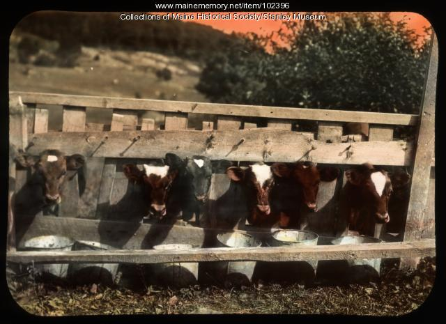 Cows at feed trough, ca. 1910