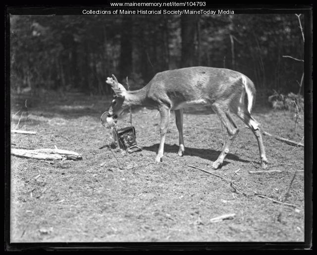 Deer biting a camera at Day Mills Day Farm, ca. 1922