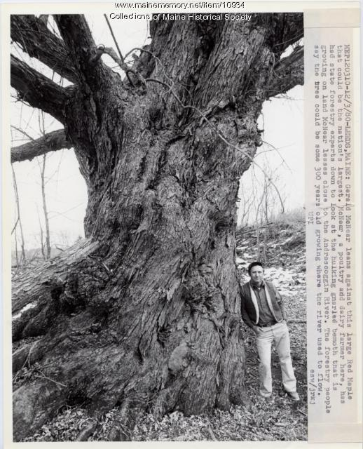 Largest tree, Leeds, 1980