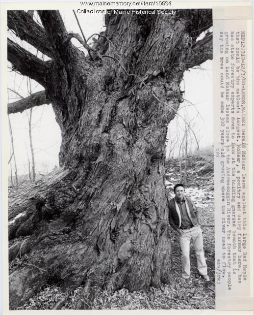 Largest tree, Leeds, 1980