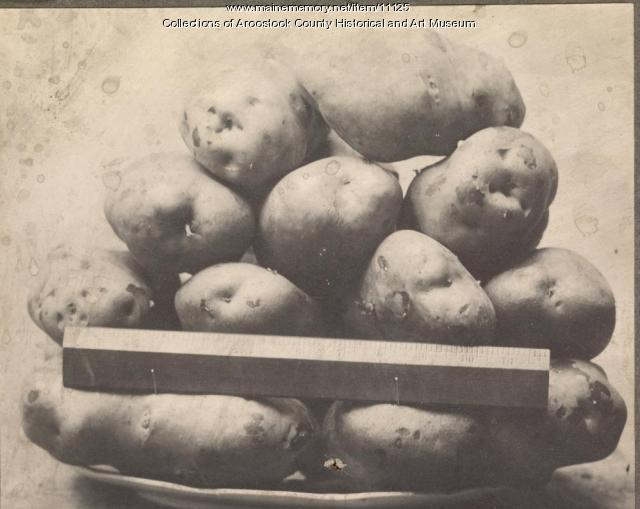Aroostook County potatoes, 1909