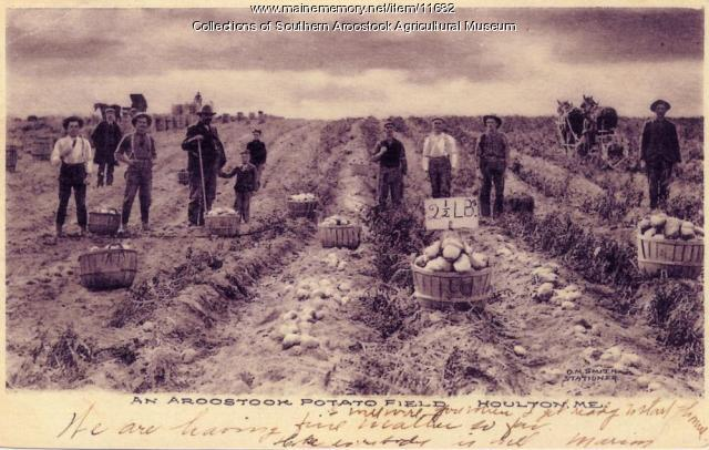 Aroostook potato field, 1916