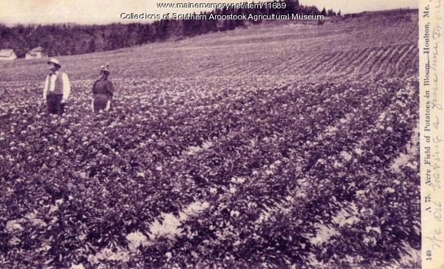 Aroostook Potato Field in Blossom - 1906