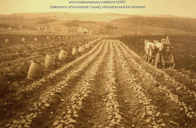 Field of Green Mountain potatoes