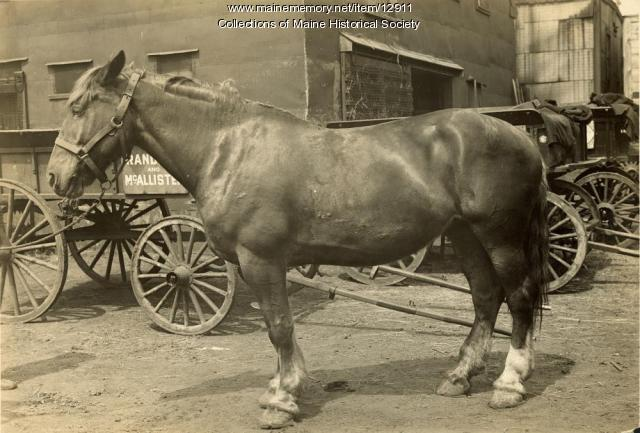 Largest horse in Portland, 1909