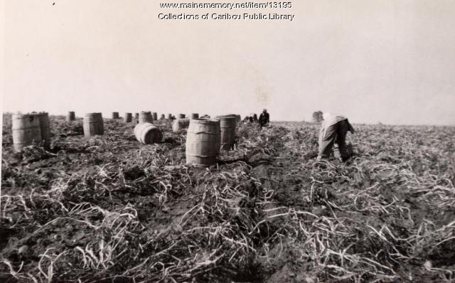 Potato barrels at harvest, Caribou, ca. 1930