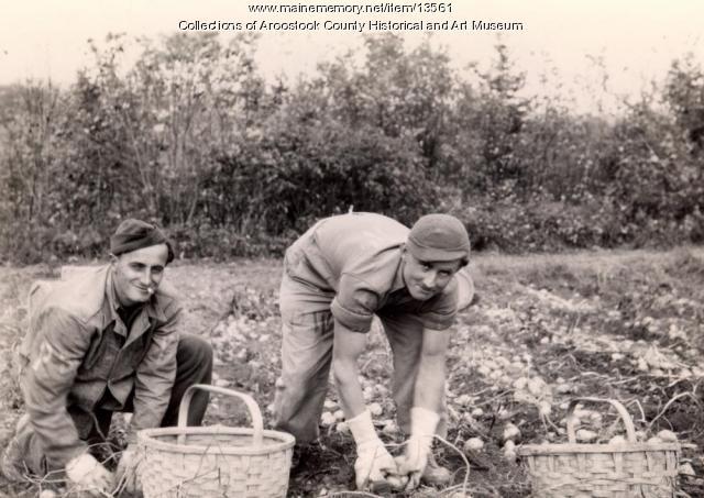 German prisoners picking potatoes, Houlton, 1945