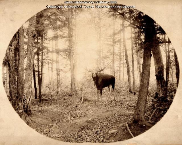 Moose in Aroostook Woods, ca. 1895