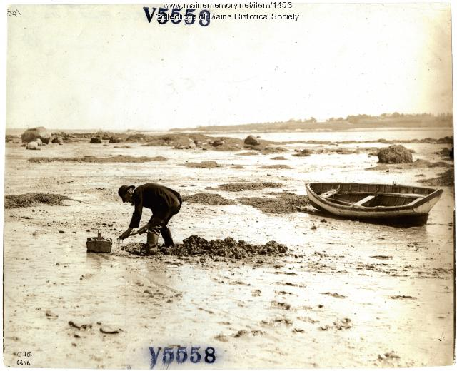 Digging clams in Maine, ca. 1930