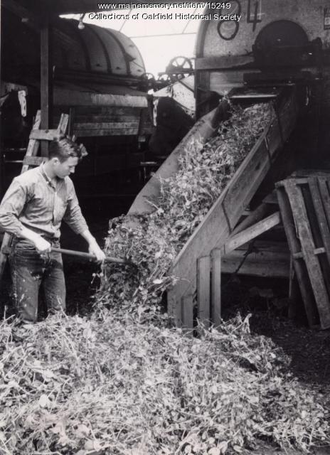 Threshing peas, ca. 1955