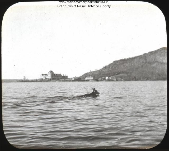 Moose swimming in Moosehead Lake, ca. 1900