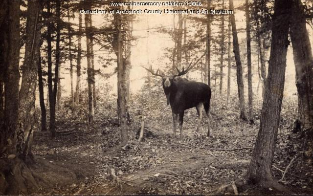 Moose in the Aroostook Woods, 1895