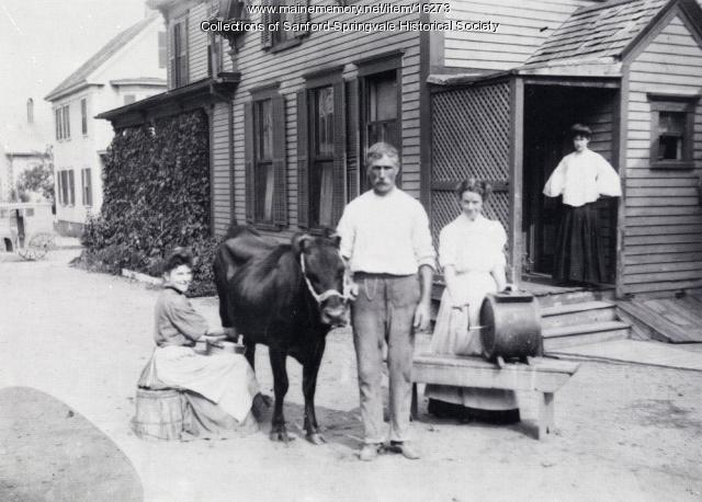 Woman milking cow, Sanford, ca. 1905